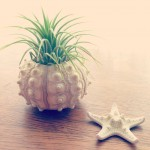 air plant