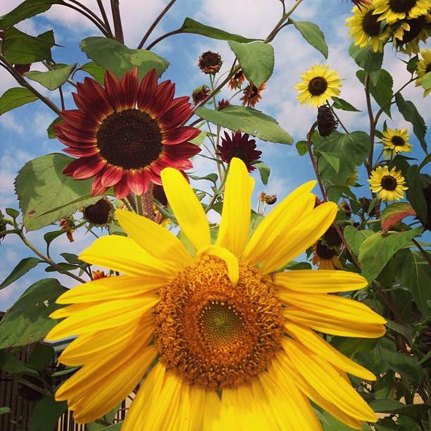 sunflowers_abound