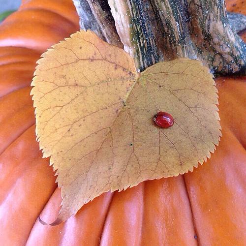 pumpkin_leaf_love